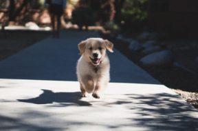 Short fuzzy dog running at the camera on a sunny sidewalk.
