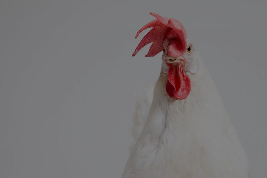 white chicken with red top