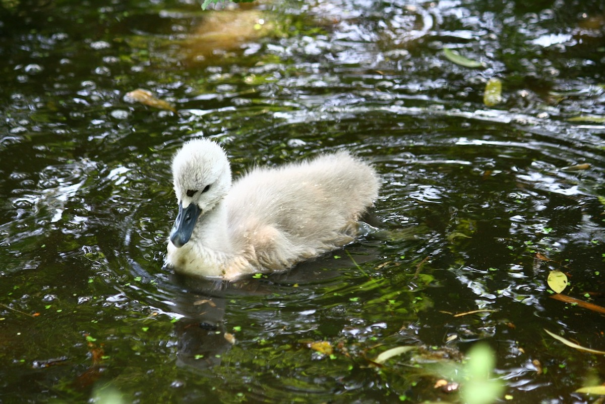 The Danger of Ugly Duckling Theology